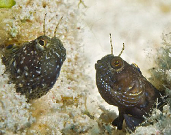 You talkin' to me? Two Sailfin Blennies in what appears t... by Jim Chambers